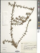 view Diodia apiculata (Willd. ex Roem. & Schult.) K. Schum. digital asset number 1