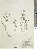view Ottleya strigosa (Nutt.) D.D. Sokoloff digital asset number 1