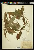 view Ossaea micrantha (Sw.) Macfad. ex Cogn. digital asset number 1