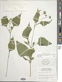 view Melanthera nivea (L.) Small digital asset number 1
