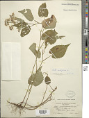 view Symphyotrichum cordifolium (L.) G.L. Nesom digital asset number 1