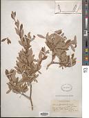 view Salix bebbiana var. perrostrata Sarg. digital asset number 1