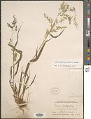 view Cinna latifolia (Trevir. ex Göpp.) Griseb. digital asset number 1