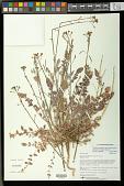view Chylismia walkeri subsp. tortilis (Jeps.) W.L. Wagner & Hoch digital asset number 1