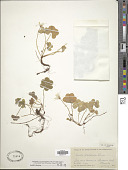 view Oxalis acetosella sensu Blanco non L. digital asset number 1