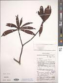 view Tasmannia piperita (Hook. f.) Miers digital asset number 1