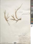 view Lepturus repens var. septentrionalis Fosberg digital asset number 1