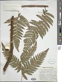 view Cyathea latebrosa var. paraphysata digital asset number 1