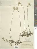 view Antennaria petaloidea (Fernald) Fernald digital asset number 1
