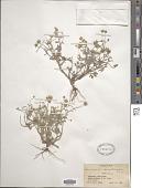 view Ranunculus lomatocarpus Fisch. ex A. Spreng. digital asset number 1
