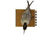 view Common Tern digital asset number 1