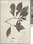 view Psychotria brownei Spreng. digital asset number 1