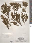view Phoradendron bolleanum (Seem.) Eichler digital asset number 1
