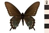 view Pipevine Swallowtail digital asset number 1