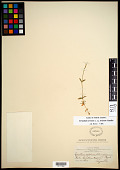 view Cerastium arvense subsp. strictum (L.) Ugborogho digital asset number 1