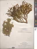view Phoradendron juniperinum Engelm. ex A. Gray digital asset number 1