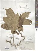 view Lonchocarpus sylvestris A.C. Sm. digital asset number 1