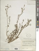 view Onobrychis caput-galli (L.) Lam. digital asset number 1