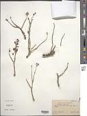 view Portulaca oleracea L. digital asset number 1