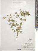 view Stellaria ovata Willd. digital asset number 1