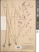 view Agrostis hyemalis (Walter) Britton et al. digital asset number 1