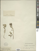 view Arnebia cornuta (Ledeb.) Fisch. & C.A. Mey. digital asset number 1