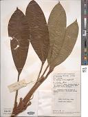 view Aglaonema nitidum (Jack) Kunth digital asset number 1