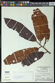 view Iryanthera lancifolia Ducke digital asset number 1