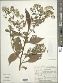 view Conyza leucantha (D. Don) Ludlow & P.H. Raven digital asset number 1