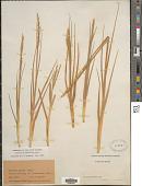 view Sporobolus alterniflorus (Loisel.) P.M. Peterson & Saarela digital asset number 1
