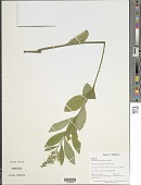 view Crotalaria kurzii Baker ex Kurz digital asset number 1