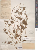 view Polygonum sagittatum L. digital asset number 1
