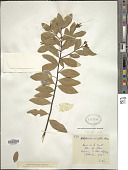 view Wikstroemia indica (L.) C.A. Mey. digital asset number 1