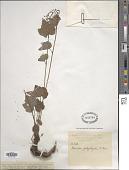view Tiarella polyphylla D. Don digital asset number 1