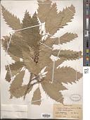 view Quercus castaneifolia C.A. Mey. digital asset number 1