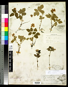 view Rubus acaulis Michx. digital asset number 1