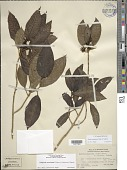 view Kadua acuminata Cham. & Schltdl. digital asset number 1