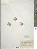 view Gentiana crassuloides Bureau & Franch. digital asset number 1
