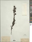 view Pedicularis zeylanica Benth. digital asset number 1
