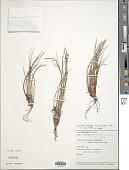 view Oreobolus kuekenthalii Steenis ex Kük. digital asset number 1