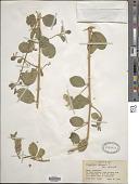 view Capparis sicula subsp. sicula digital asset number 1