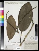 view Artocarpus fretessii Teijsm. & Binn. ex Hassk. digital asset number 1