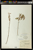 view Euphorbia leucocephala Lotsy digital asset number 1