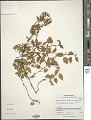 view Viola scandens Humb. & Bonpl. ex Roem. & Schult. digital asset number 1