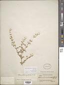 view Alternanthera pulchella Kunth digital asset number 1