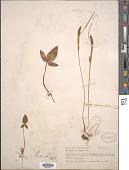 view Pinellia ternata Druce digital asset number 1