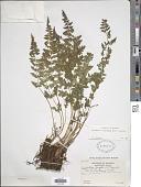 view Cystopteris laurentiana (Weath.) Blasdell digital asset number 1