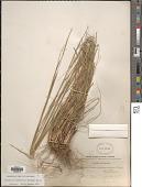 view Sporobolus clandestinus (Biehler) Hitchc. digital asset number 1