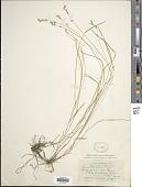 view Carex laeviculmis Meinsh. digital asset number 1