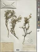view Adesmia miraflorensis Remy digital asset number 1